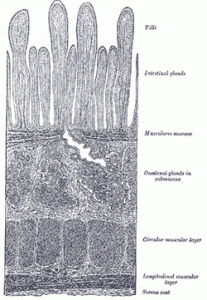 section of duodenum